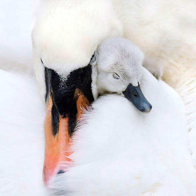 padres-pajaro-polluelos (7)
