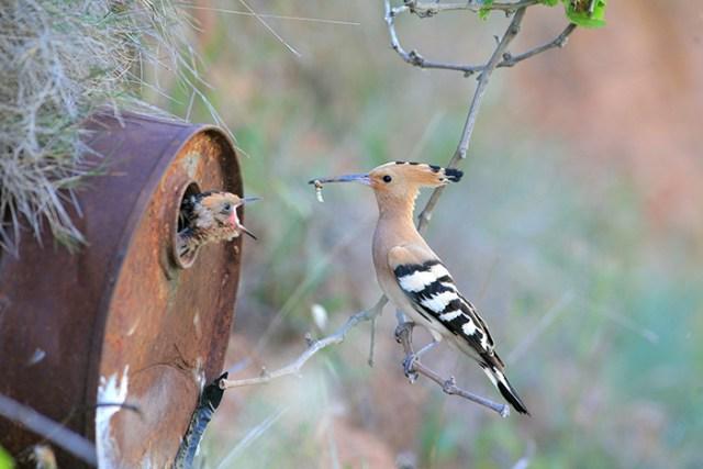 padres-pajaro-polluelos (9)