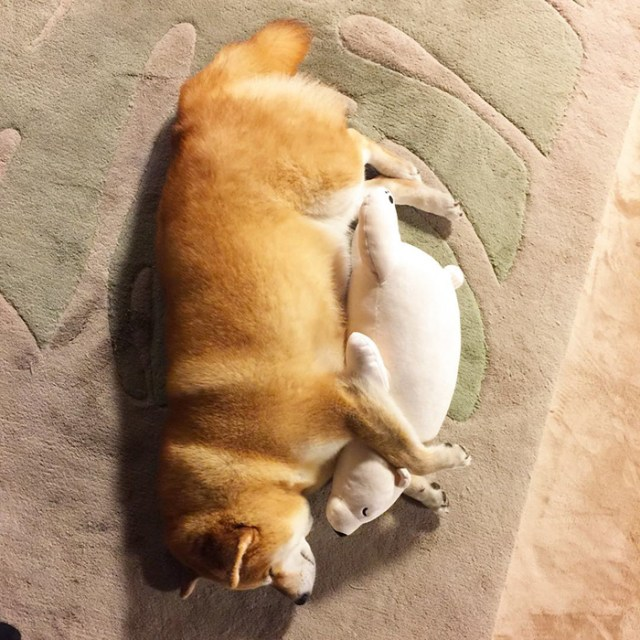 perro-shiba-inu-maru-dormir-igual-oso-peluche (7)