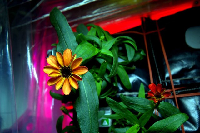 primera-flor-espacio-nasa-scott-kelly
