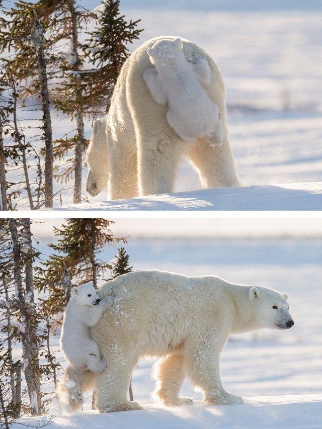 fotos-oseznos-polares (11)