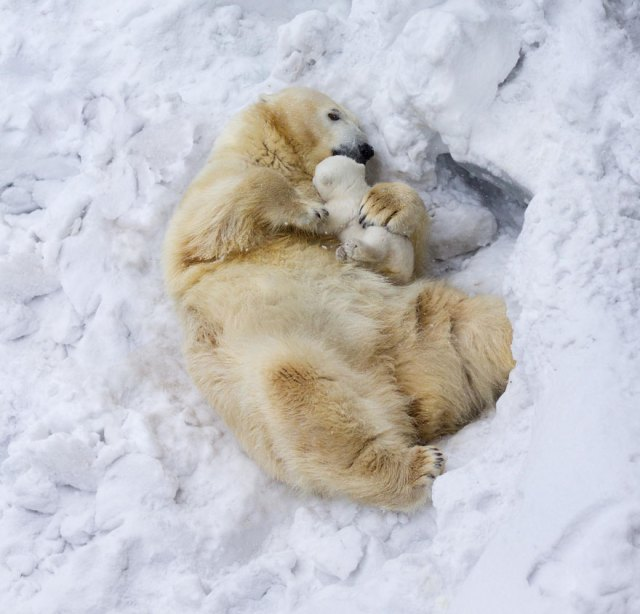 fotos-oseznos-polares (13)
