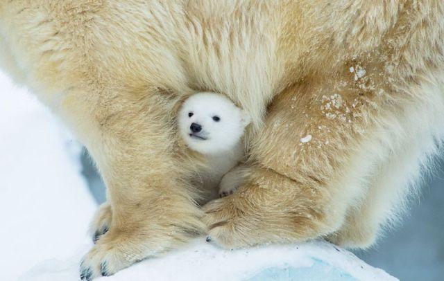 fotos-oseznos-polares (2)