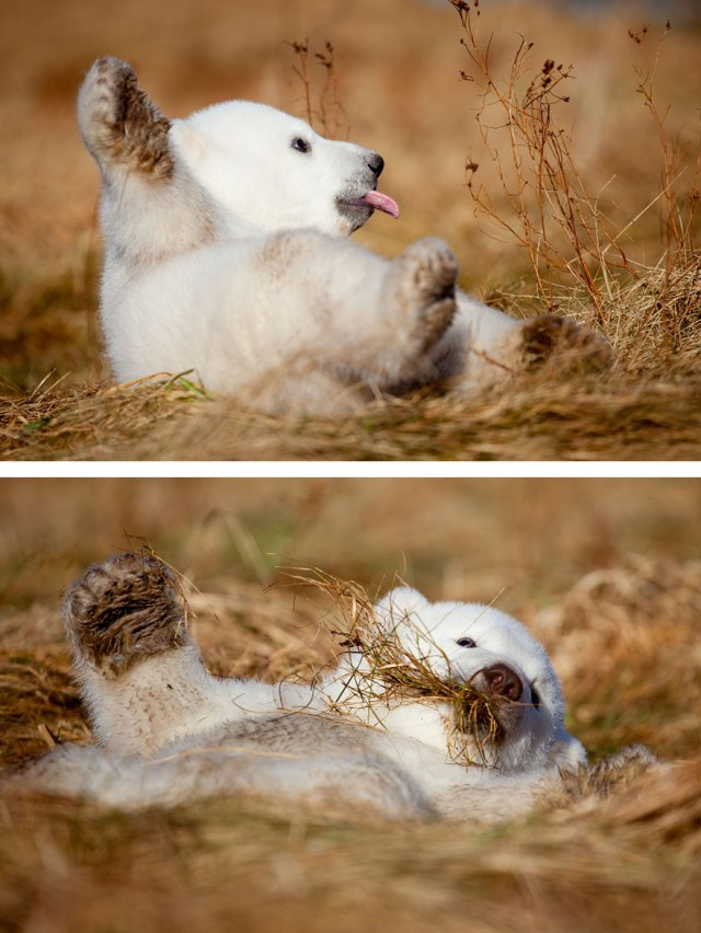 fotos-oseznos-polares (7)