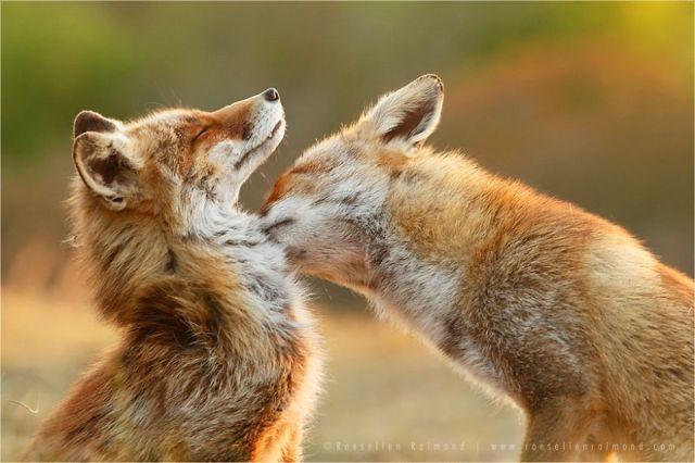 fotos-zorros-amorosos-roeselien-raimond (10)