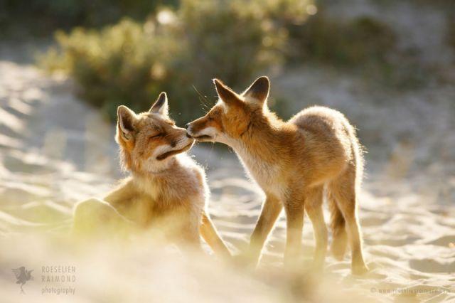 fotos-zorros-amorosos-roeselien-raimond (4)