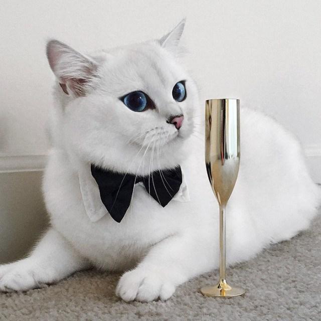 ojos-bonitos-gato-pelicorto-ingles-coby (11)