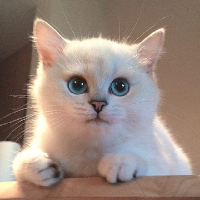 ojos-bonitos-gato-pelicorto-ingles-coby (4)