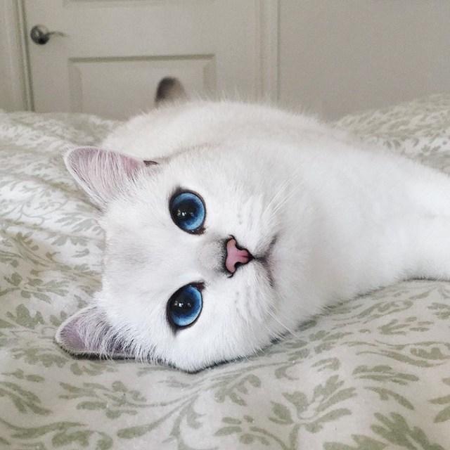 ojos-bonitos-gato-pelicorto-ingles-coby (9)
