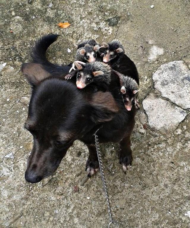 perro-pretinha-adopta-crias-zarigueyas-stephanie-maldonado (4)