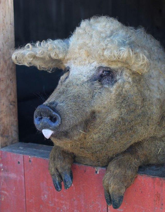 raza-cerdo-lanudo-mangalica (26)