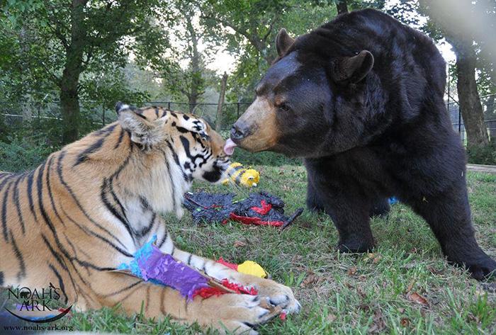 amistad-animal-inusual-oso-leon-tigre-santuario-georgia (10)