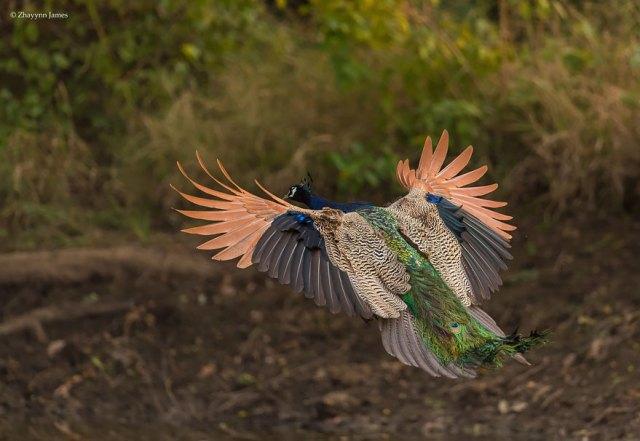 pavos-reales-volando (7)