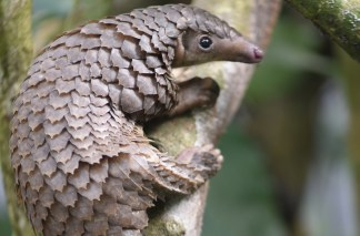 China Orders Highest Level of Protection for Pangolin Amid Coronavirus Pandemic