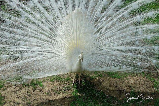 Zo trots als een pauw  #kasteelparkborn #pauw #peacock #born #borninbeeld #limburg #liefdevoorlimburg