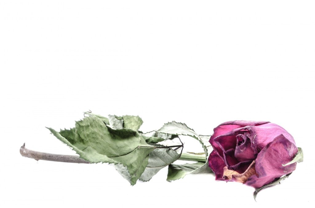 Dried red rose as symbol of grief