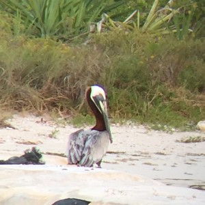 Brown Pelican (Pelecanus occidentalis) on the beach in Rio Lagartos, Yucatan, Mexico. Where it belongs.