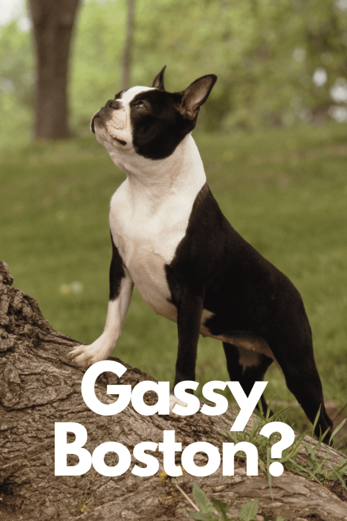 The Stink on Why Boston Terriers Eat Poop. Boston Terrier Society.