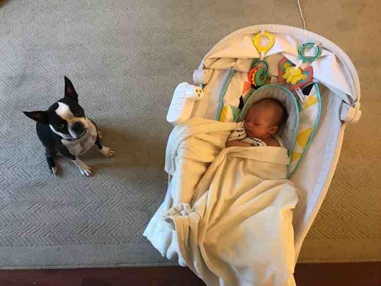Do Boston Terriers make Good Family Pets? Boston Terrier Society.