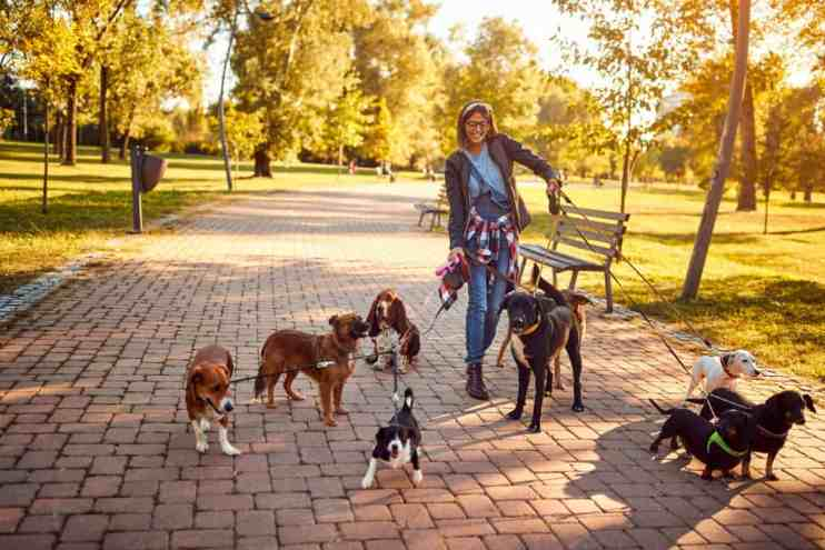 Should You Hire A Dog Walker? Guide. Boston Terrier Society.