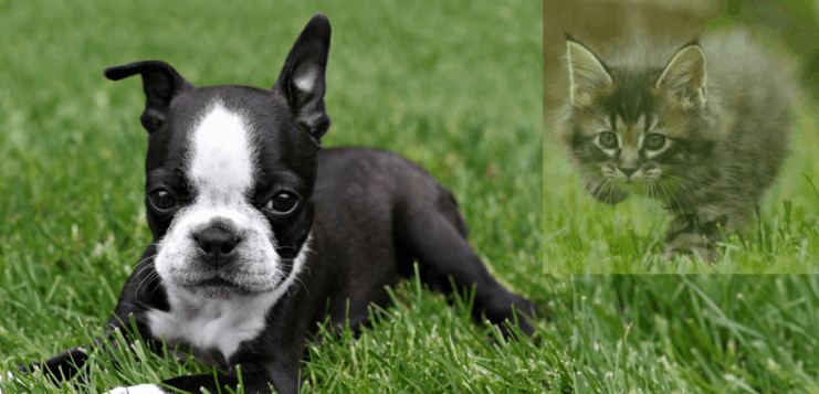 Do Boston Terriers Get Along With Cats? 50 Owners Surveyed. Boston Terrier Society.