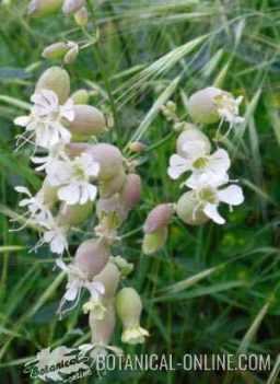 Silene vulgaris flores pendulas