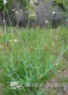 Silene vulgaris flores caliz