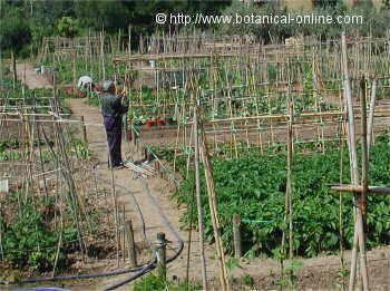 Como cultivar verduras y hortalizas en el jard n o en la for Como cultivar hortalizas