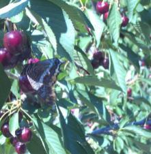 Βοτανικό Πάρκο- Κήποι Κρήτης: Φρούτα του Πάρκου- Κεράσι
