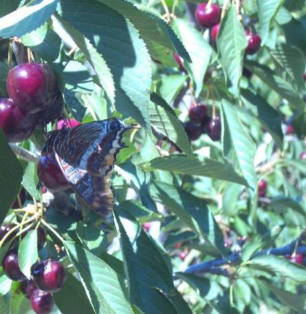Botanical Park-Gardens of Crete-Cherry Tree