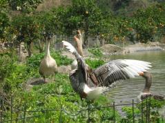 Botanical Park-Gardens of Crete- Our Animal Farm- Geese