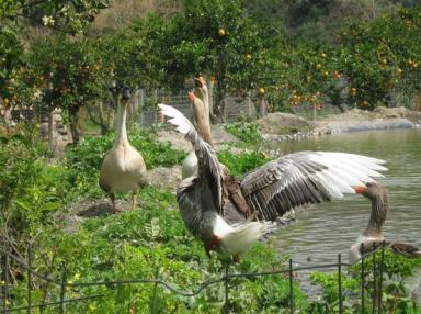 Βοτανικό Πάρκο- Κήποι Κρήτης: Ζώα του Πάρκου μας- Πάπιες
