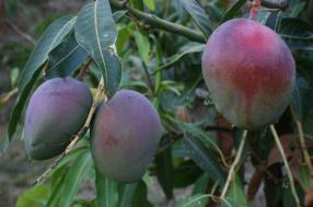 Βοτανικό Πάρκο- Κήποι Κρήτης: Φρούτα Μάνγκο