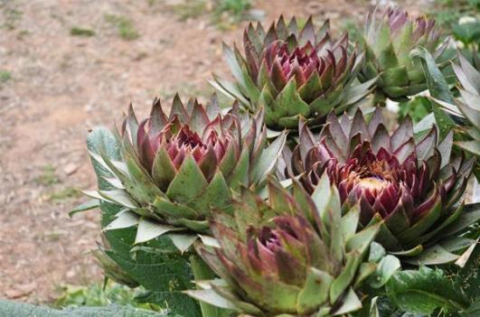 Botanical Park-Gardens of Crete- Artichoke