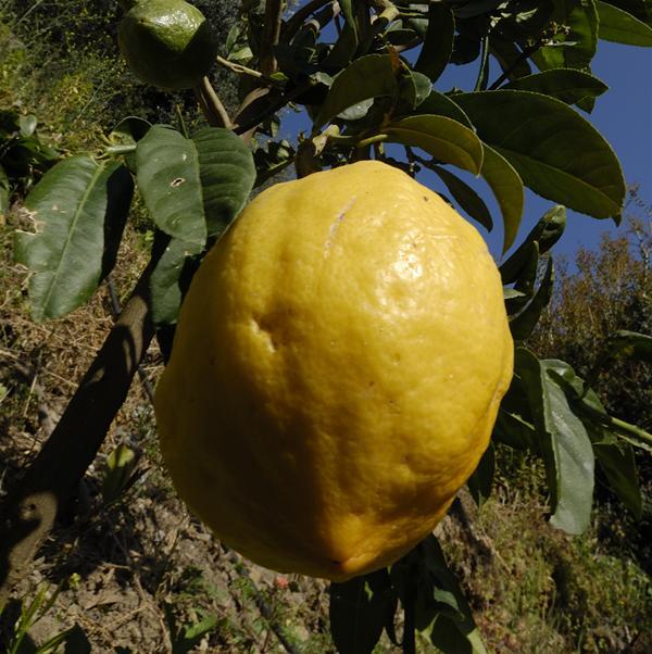 Botanical Park-Gardens of Crete- Lemon