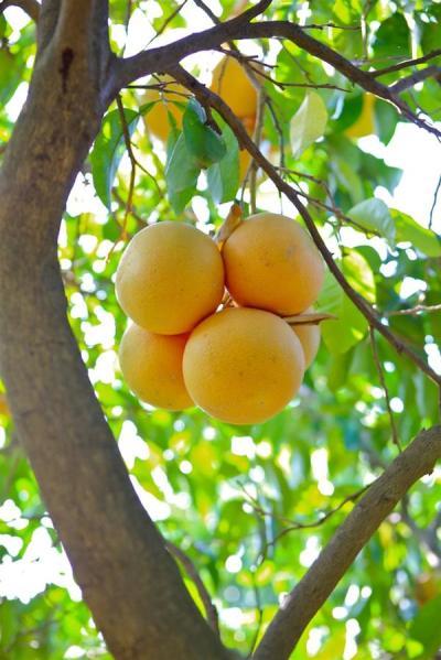 Βοτανικό Πάρκο- Κήποι Κρήτης: Κήποι Εσπεριδοειδών- Πορτοκάλια