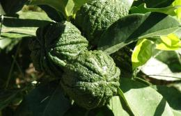 Botanical Park-Gardens of Crete- Fruit Trees from Asia