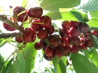 Cherry Tree Fruits- Botanical Park and Gardens of Crete