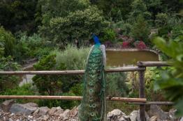 Botanical Park- Gardens of Crete: Peacock