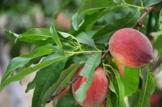 mediterranean_fruit_garden_2
