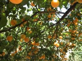 Botanical Park- Gardens of Crete: Mediterranean Fruit Trees: Orange Trees