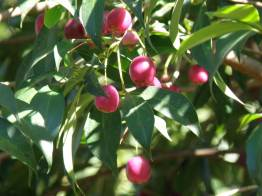 Botanical Park- Gardens of Crete: Mediterranean Fruit Trees-Cherries