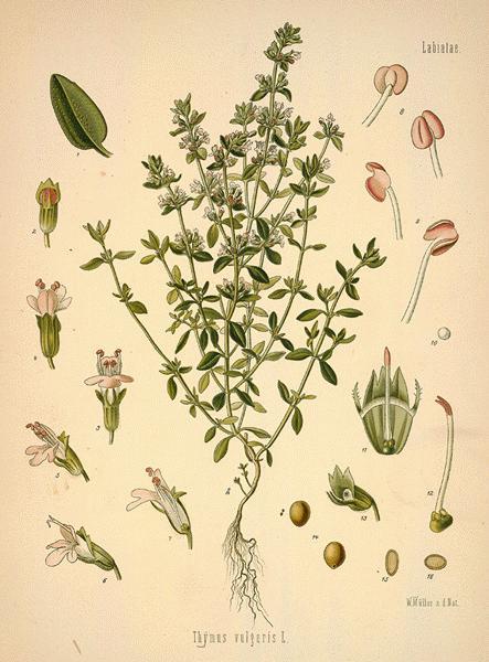 https://i1.wp.com/www.botanical.com/botanical/mgmh/t/thygar16-l.jpg