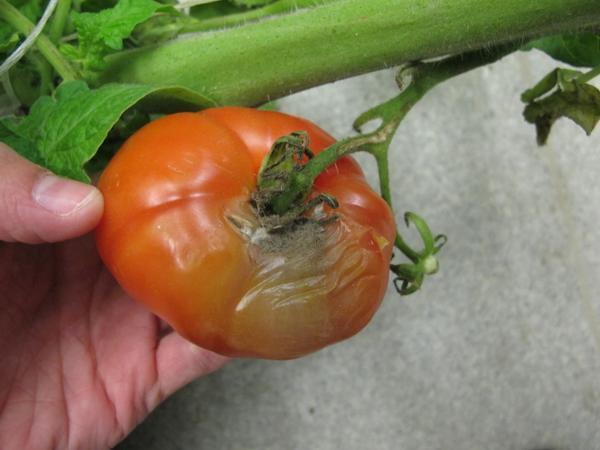 botrytis on tomato factsheet cornell university - 600×450