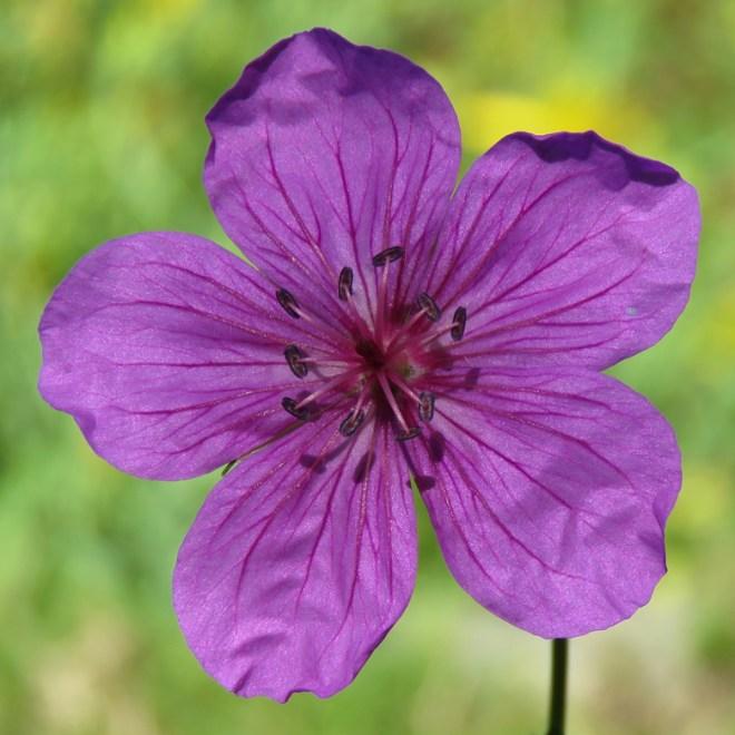Myrnäva (Geranium soboliferum var. kiusianum). Foto: Dan Abelin.