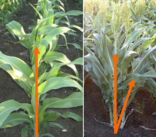 Regulation of tillering in sorghum: genotypic effects