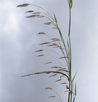 Unification of Pennisetum, Cenchrus and Odontelytrum
