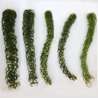 Invasion strategies in clonal aquatic plants
