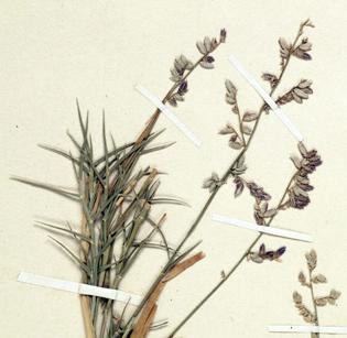 Disproving a C4 reversion in Eragrostis
