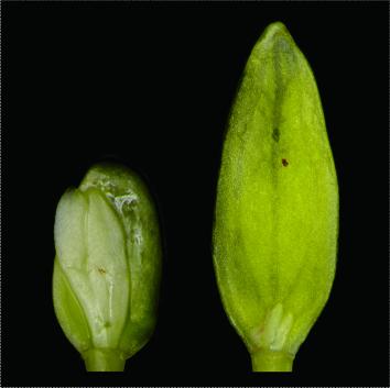 Epicotyl dormancy in Viburnum seeds